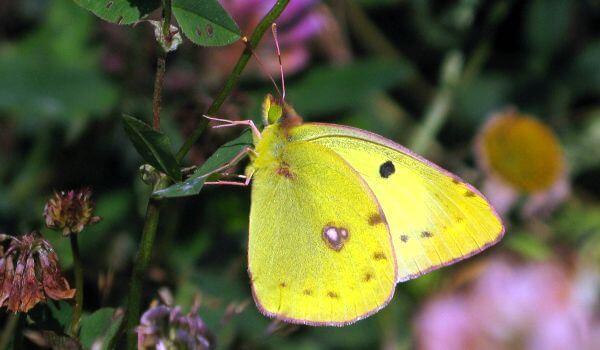 Фото: Бабочка желтушка луговая