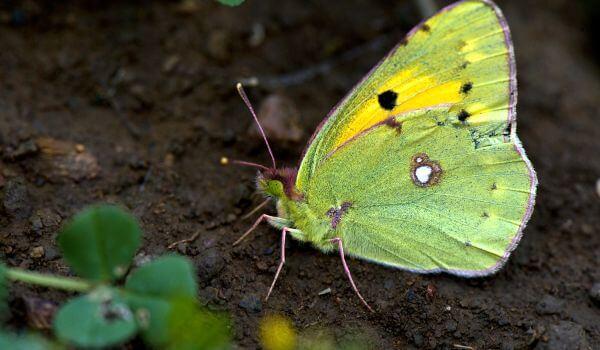 Фото: Бабочка желтушка из Красной книги