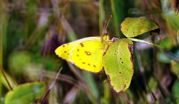 Фото: Бабочка желтушка