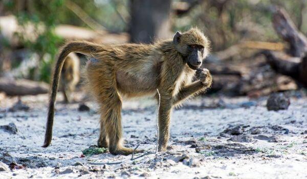Фото: Детеныш бабуина