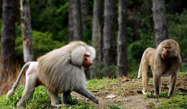 Фото: Пара бабуинов