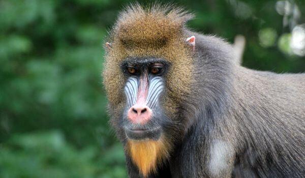 Фото: Бабуин в природе