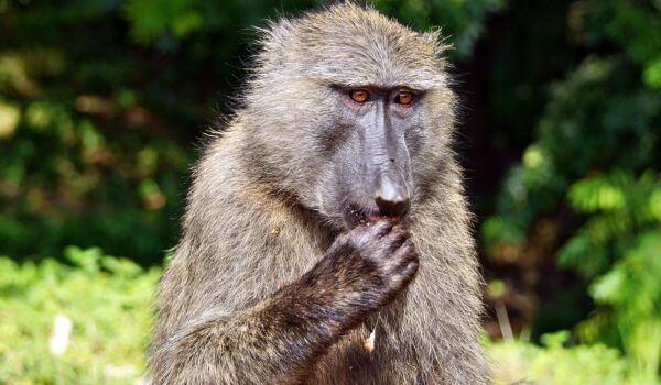 Фото: Обезьяна бабуин