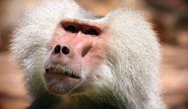 Фото: Красный бабуин