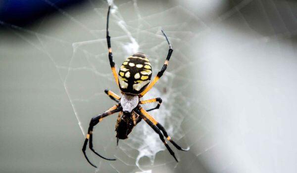 Фото: Банановый паук