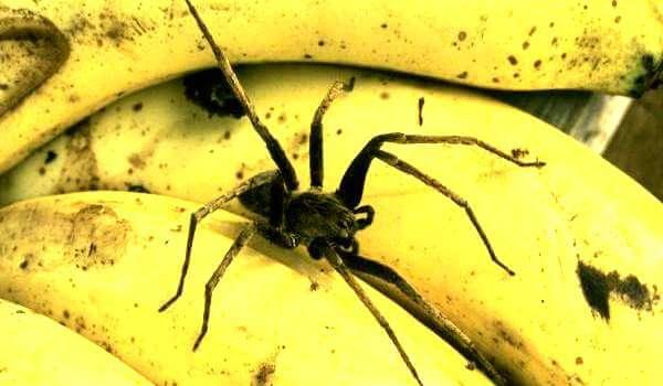 Фото: Банановый паук в банане