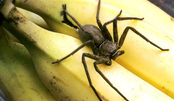 Фото: Бразильский странствующий паук в бананах