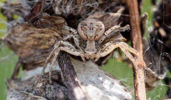 Фото: Бразильский странствующий паук в Америке