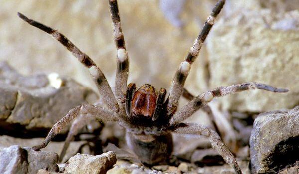 Фото: Ядовитый бразильский странствующий паук