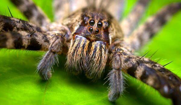 Фото: Опасный бразильский странствующий паук