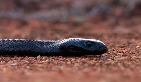 Фото: Змея черная мамба