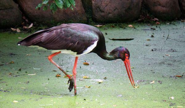 Фото: Птица черный аист