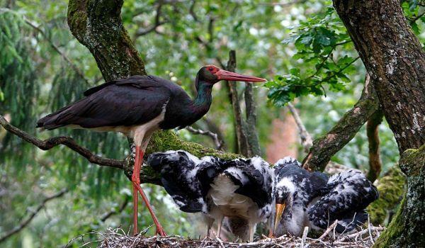 Фото: Птенцы черного аиста