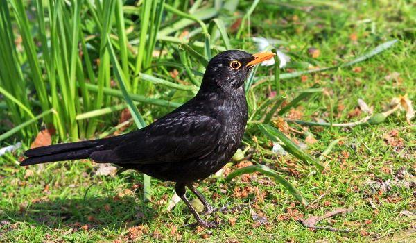 Фото: Птица черный дрозд