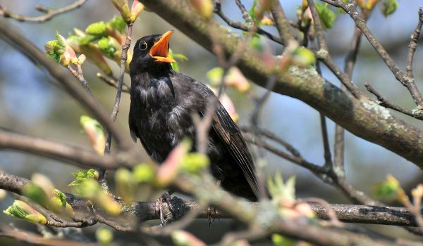 Фото: Черный дрозд на дереве