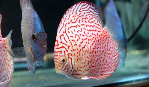 Фото: Рыба дискус