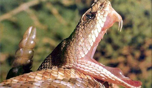 Фото: Габонская гадюка, или кассава