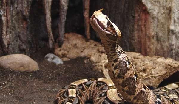 Фото: Змея кассава