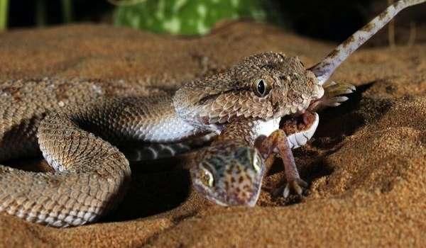 Фото: Змея габонская гадюка
