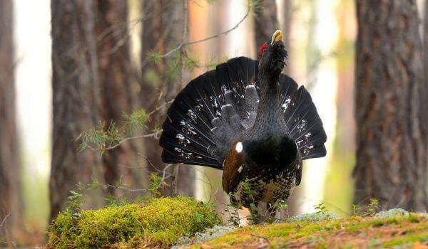 Фото: Птица глухарь