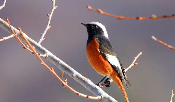 Фото: Птица горихвостка