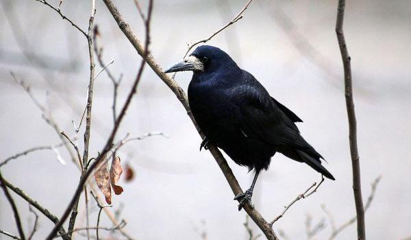 Фото: Птица грач