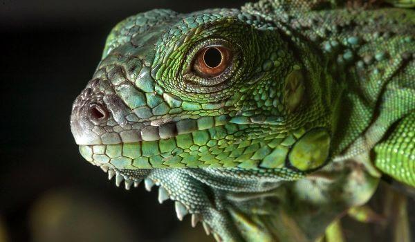 Фото: Ящерица игуана