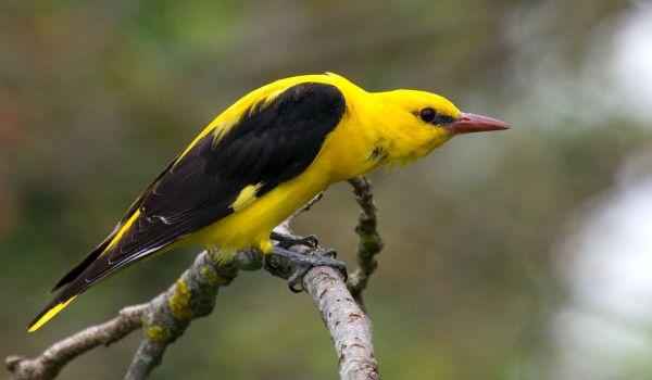 Фото: Певчая птица иволга