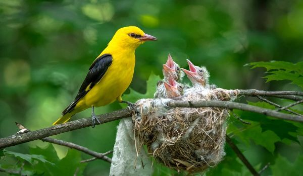 Фото: Птенцы иволги
