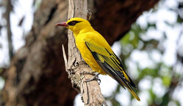 Фото: Птица иволга