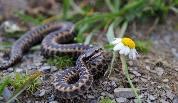 Фото: Змея кавказская гадюка