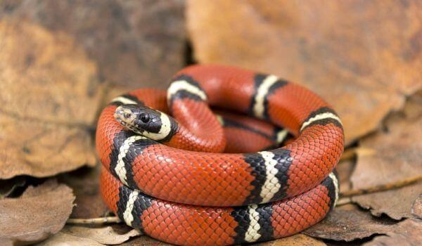 Фото: Змея коралловый аспид
