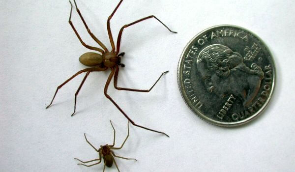 Фото: Ядовитый коричневый паук отшельник