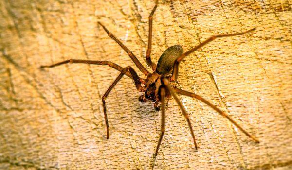 Фото: Коричневый паук отшельник