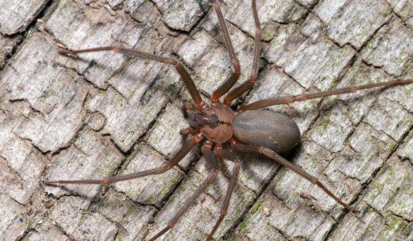 Фото: Опасный коричневый паук отшельник