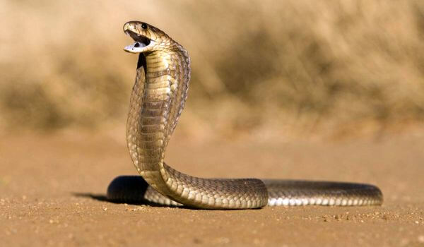 Фото: Королевская кобра
