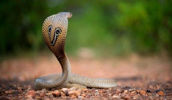 Фото: Королевская кобра из Красной книги