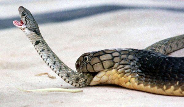 Фото: Опасная королевская кобра