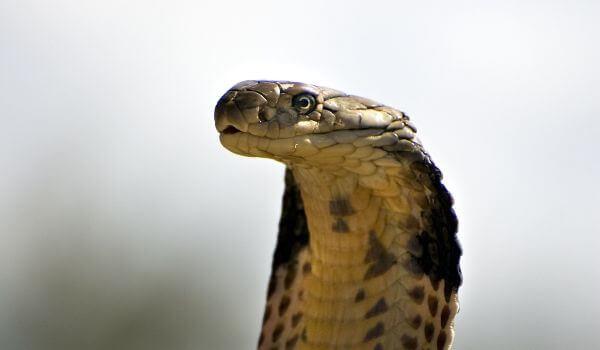 Фото: Змея королевская кобра