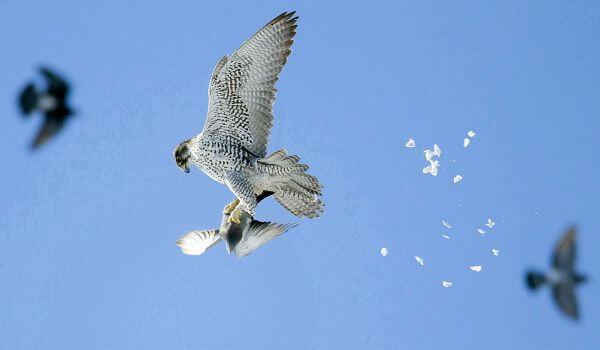 Фото: Птица кречет из Красной книги