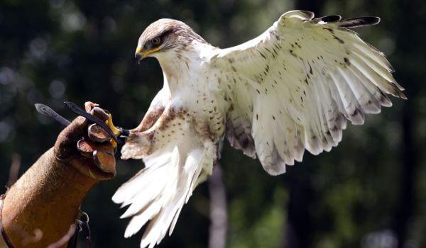 Фото: Птица кречет