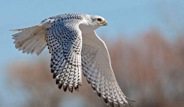 Фото: Кречет в полете