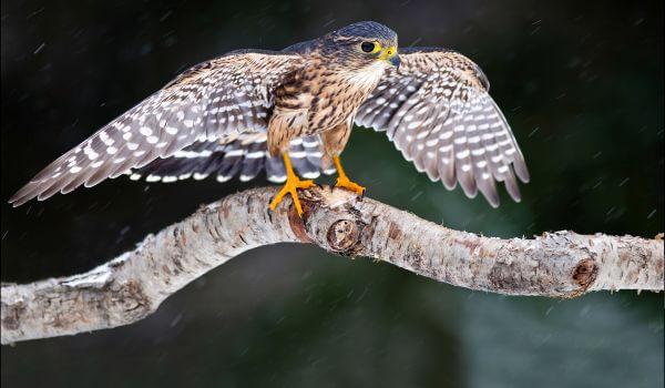 Фото: Хищная птица кречет