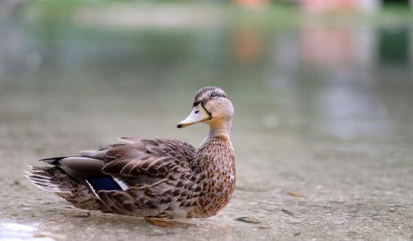 Фото: Дикая утка кряква