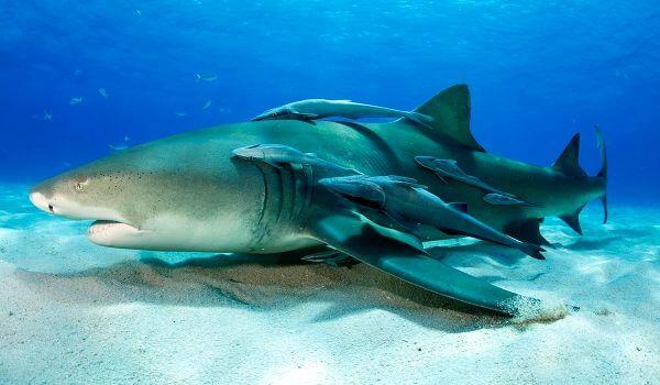 Фото: Опасная лимонная акула