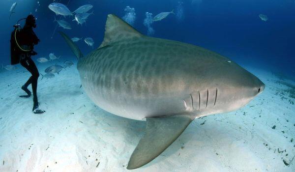 Фото: Лимонная акула и дайвер