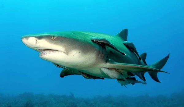 Фото: Лимонная, или желтая акула