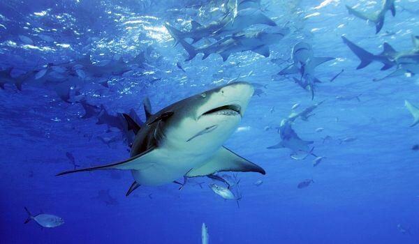 Фото: Короткорылая острозубая акула
