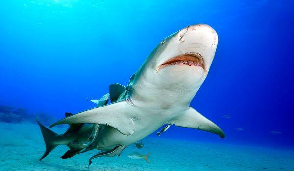 Фото: Лимонная акула из Красной книги