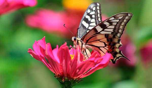 Бабочка Махаон из Красной книги